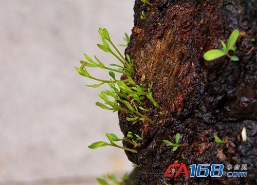 桉树皮变绿电:世界最大生物质发电厂的生意经