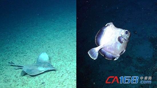 水下机器人发回的照片展示了各种奇妙的深海生物,如与甲壳类动物共同